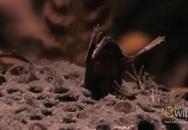 Xem loài cóc kỳ lạ sinh con từ lưng
